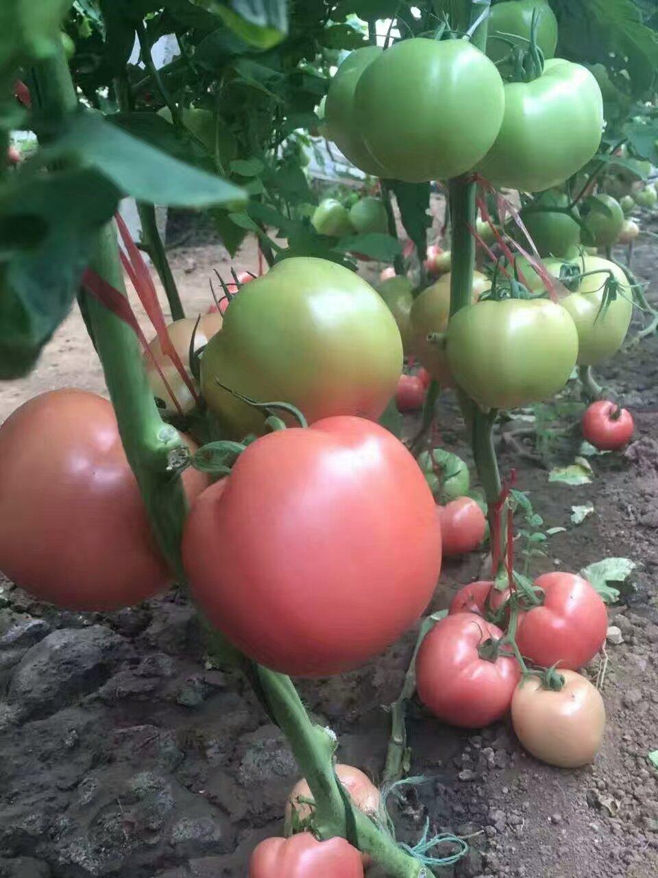 番茄增产亚虎官网app客户端肥哪家好?亚虎app客户端下载亚虎官网app客户端肥厂家好