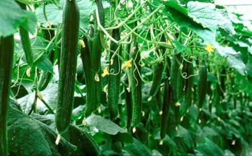 黄瓜专用叶面肥料厂家那么多,为啥大家都选亚虎app客户端下载